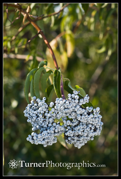 Blue Elderberry fruit