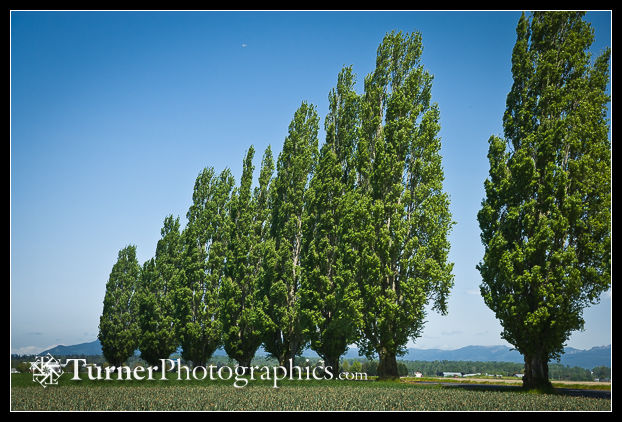 Triangular composition in group of Tulip Poplars