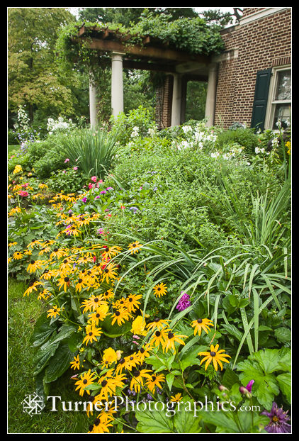 Black-eyed Susans in perennial border on a rainy day