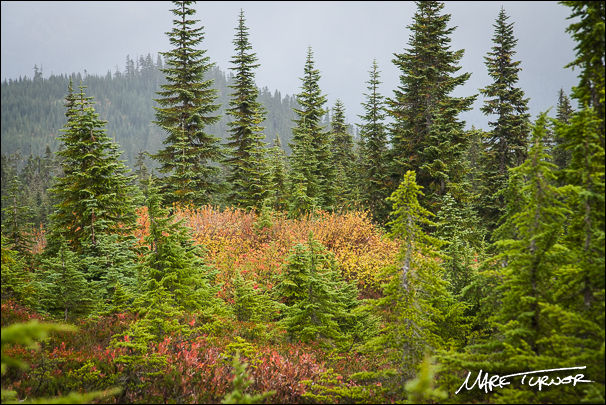 Firs, Hemlocks, and Mountain Ash