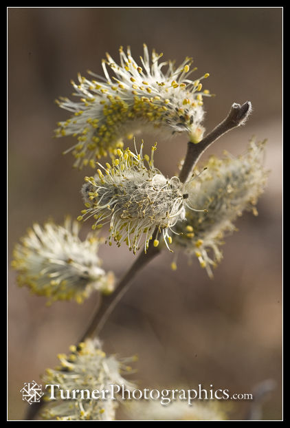 Scouler's Willow male catkins