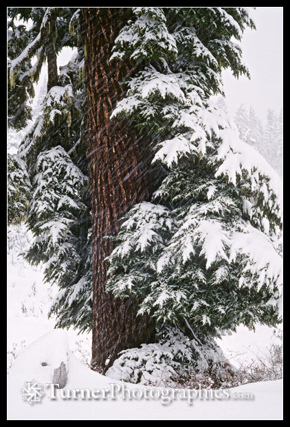 Mountain hemlock in a snowstorm