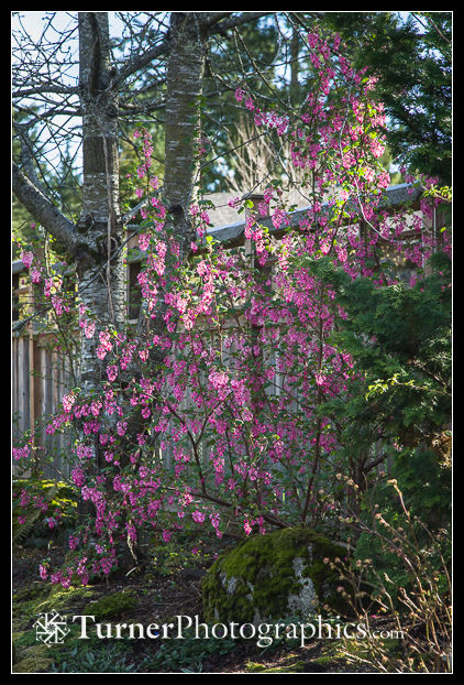 Red-flowering Currant against wooden fence