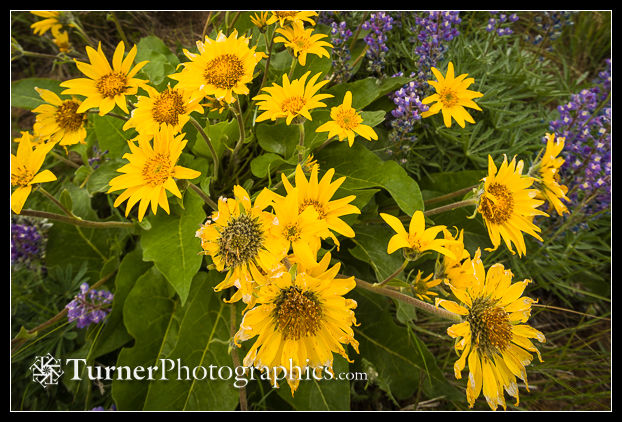Wide-angle photo of balsamroot