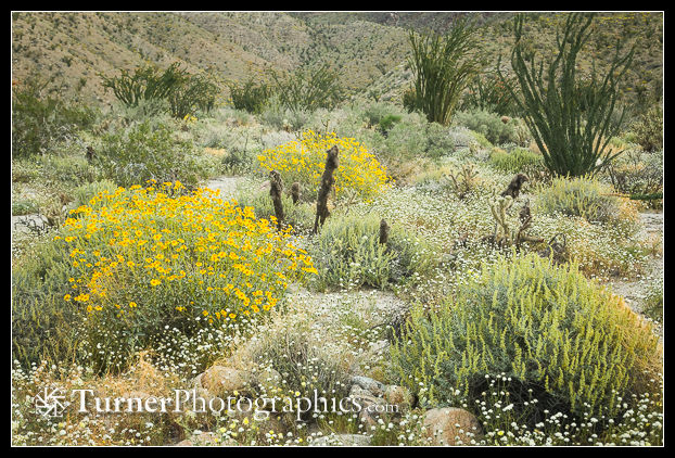 Brittlebush and More