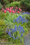 0803464 Grape Hyacinths, 'The Cure' Tulips in spring garden w/ Lavender foliage [Muscari armeniacum; Tulipa 'The Cure'; Lavandula angustifolia 'Munstead']. McClendon, Bellingham, WA. © Mark Turner