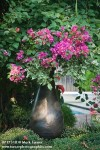 0717310 Bougainvillea in container [Bougainvillea cv.]. Hirsch, Oklahoma City, OK. © Mark Turner