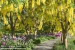 0805190 Path framed by rows of Goldenchain Trees w/ Polygonum & 'Globemaster' Onions beneath [Laburnum x watereri 'Vossi'; Polygonum sp.; Allium 'Globemaster']. VanDusen, Vancouver, BC. © Mark Turner