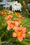 0807805 'Orange Crush' Daylilies w/ Foxglove & Kousa Dogwood soft bkgnd [Hemerocallis 'Orange Crush'; Digitalis purpurea; Cornus kousa]. McClendon, Bellingham, WA. © Mark Turner