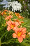'Orange Crush' Daylilies