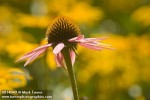 0814042 Purple Coneflower blossom among soft-focus  'Indian Summer' Black-eyed Susans [Echinacea purpurea; Rudbeckia hirta 'Indian Summer']. VanDusen, Vancouver, BC. © Mark Turner
