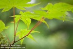0814372 Japanese Maple foliage detail, shallow focus [Acer palmatum]. Bellevue Botanical Garden, Bellevue, WA. © Mark Turner