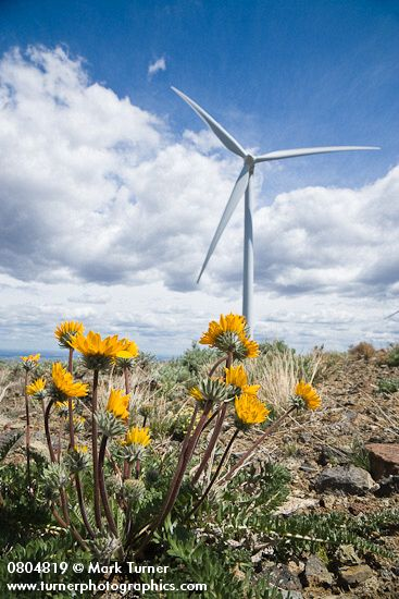 Hooker's Balsamroot and Wind Turbine