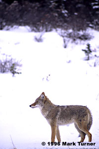 Coyote on Alaska Highway