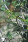 Western Smooth Green Snake