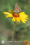 Painted Lady on Blanket Flower