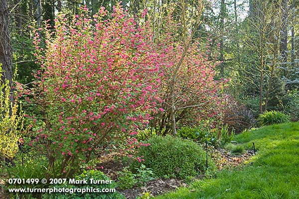 Red-flowering Currant in garden border