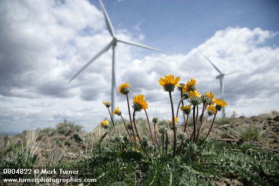 Hooker's Balsamroot on the Wild Horse Wind Farm