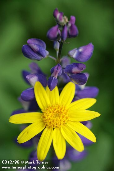 Mountain Arnica and Lupine