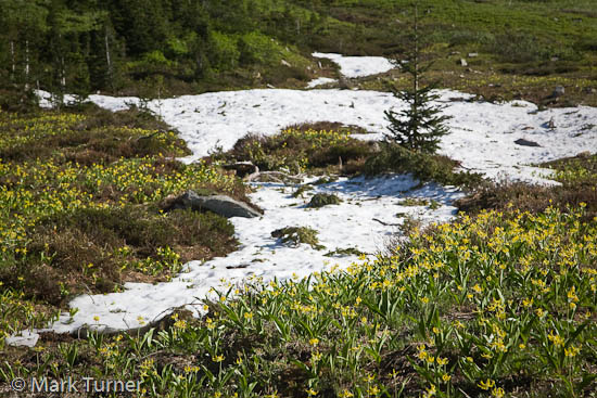 Glacier Lilies at edge of melting snow