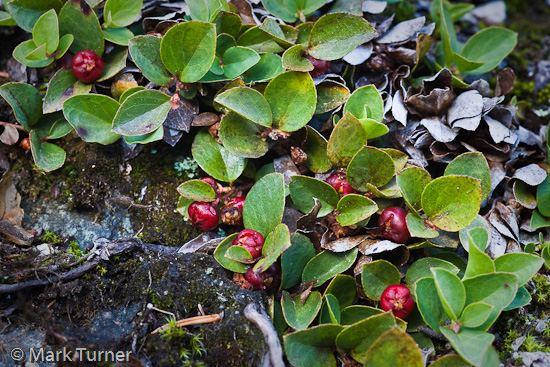 Alpine Wintergreen