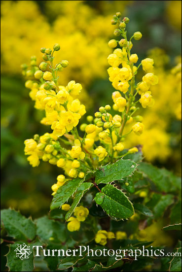 Shining Oregon Grape