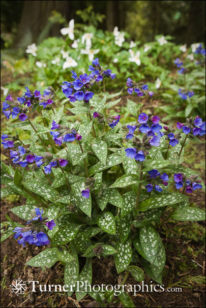 Lungwort with Trilliums