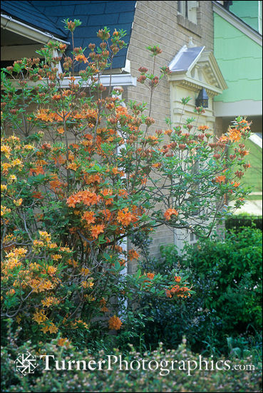 Flame Azaleas in front of white brick home