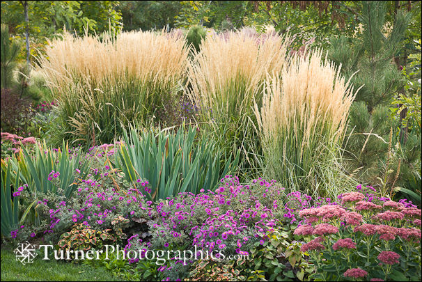 Plant of the month 39 karl foerster 39 feather reed grass for Tall feather grass