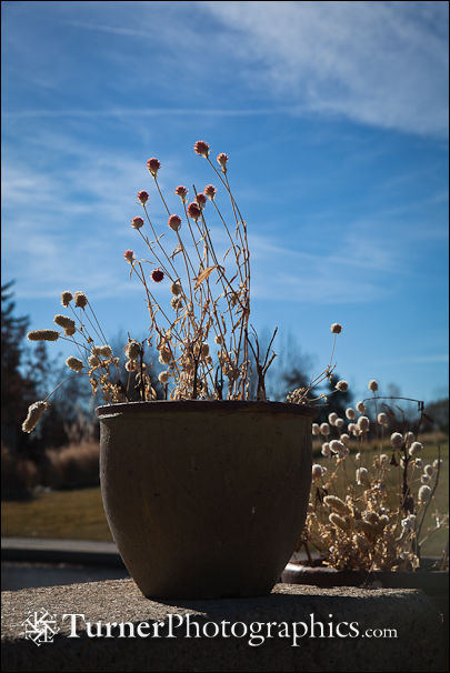 Burnet seedheads in container on wall