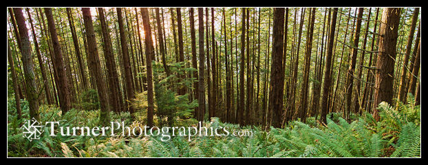 Douglas-fir forest