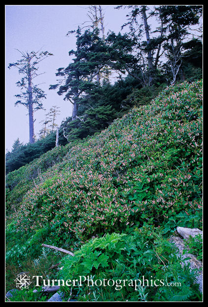 Salal on coastal bluff at Shi Shi Beach