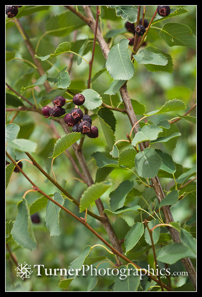 Western Serviceberry fruit