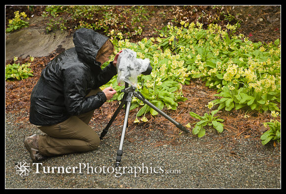 Theresa photographing Yellow Oxlip Primroses in the rain
