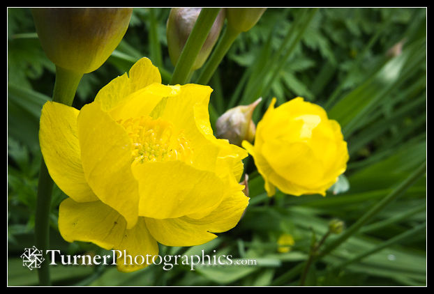 Trollius Blossoms Detail