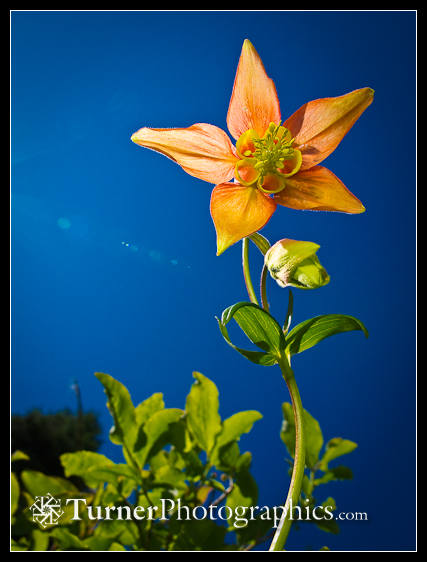 Reflected light on columbine