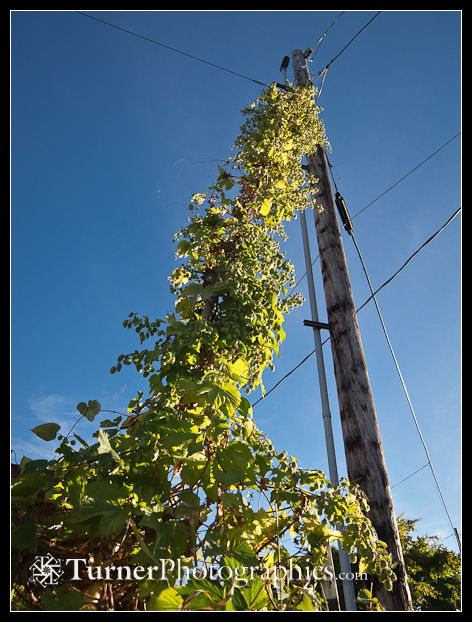Golden Hops climbing power pole guy wire