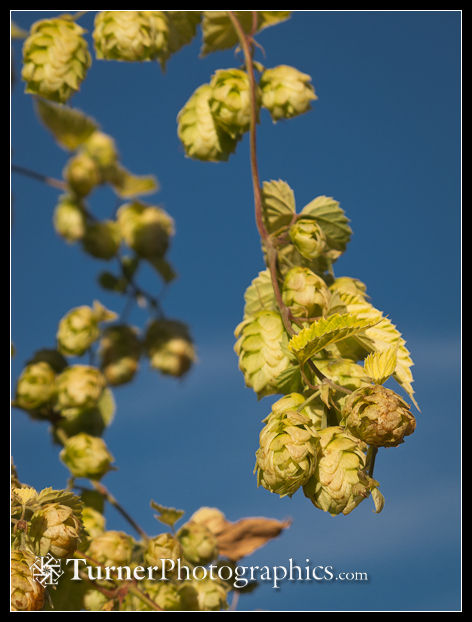 Golden Hops against blue sky