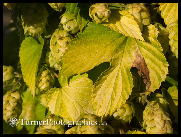 Golden Hops cones & foliage