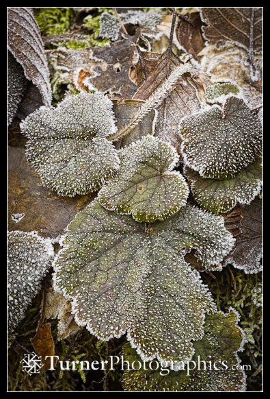 Frost on Piggy-back Plant foliage