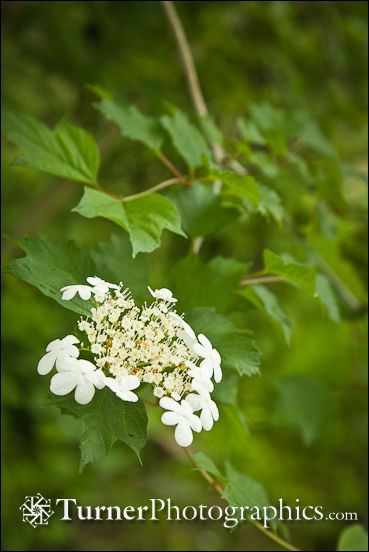 Highbush cranberry blossoms
