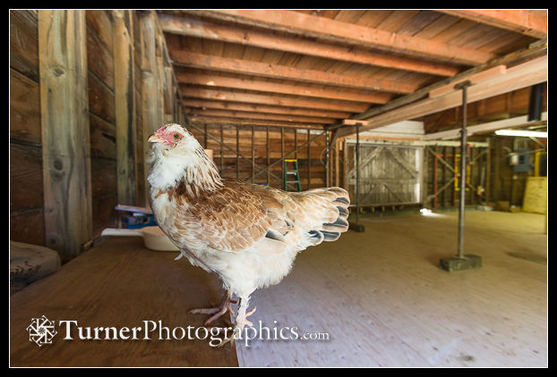 Chester the hen in the camera room