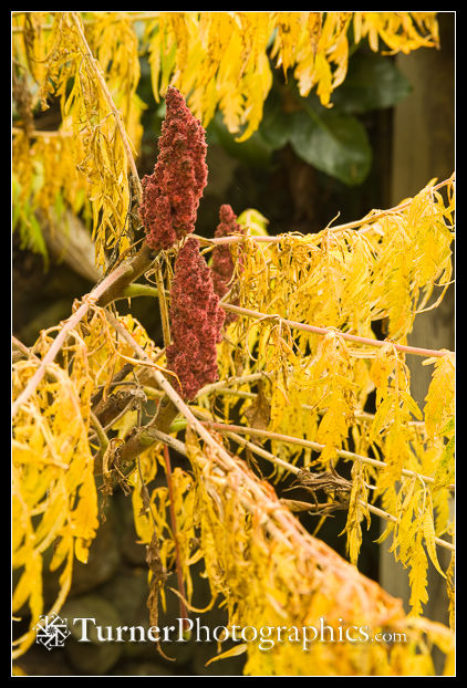 Laceleaf Staghorn Sumac fruit & foliage detail