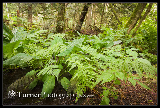 Wood Ferns & Skunk Cabbage foliage in wetland