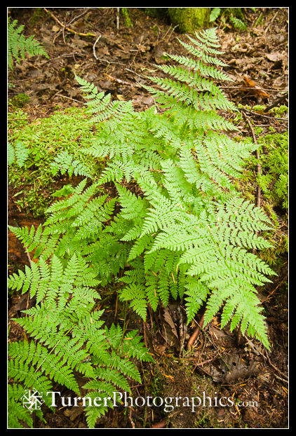 Wood Ferns