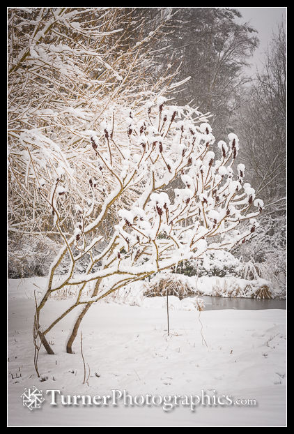 Snow-covered Staghorn Sumac
