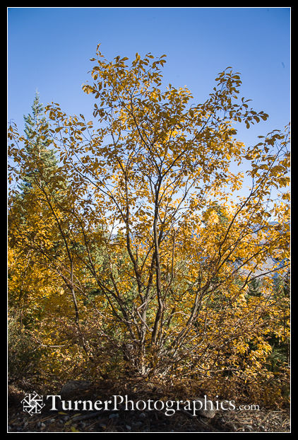 Scouler's Willow fall color