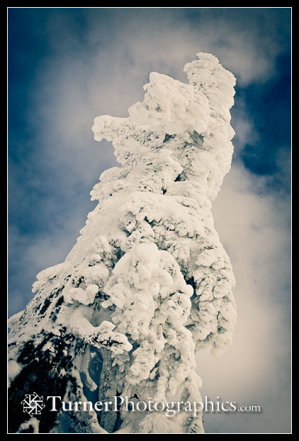 Rime ice on a mountain hemlock