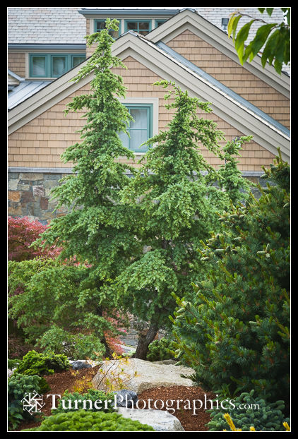Mountain hemlocks in a Bellingham garden.