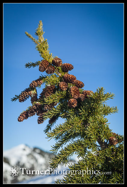 Mountain Hemlock cones